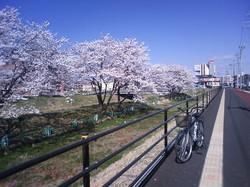 富沢駅そばの桜